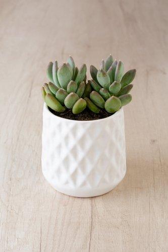Maceta de cerámica blanca + Suculenta.  Medidas Maceta: 12cm x 12cm