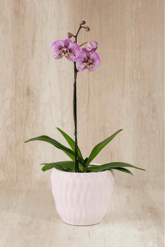 Porta maceta de cerámica rosada + Orquídea grande.  Medida base: 18cm x 18 cm.  * Para comprar un color de orquidea especíco escribenos a pedidos@la-botanika.com