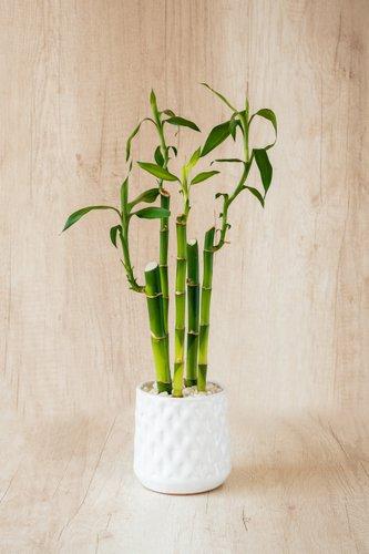 Maceta de cerámica blanca + Lucky Bamboo mediano.  Medidas Maceta: 12cm x 12cm